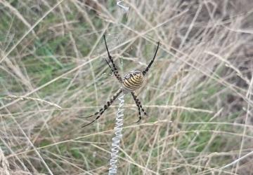 Ragno alloctono nel Parco Nazionale dell'Arcipelago di La Maddalena